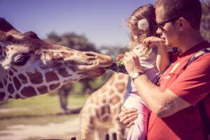 man feeding giraffe at zoo